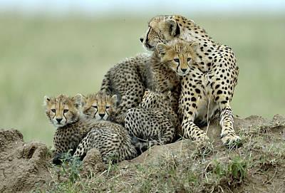 Cheetah Wall Art - Photograph - Cheetah by Giuseppe D\\\amico