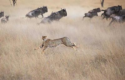 Cheetah Photograph - Cheetah Hunting by Jun Zuo