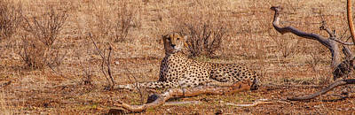 Photograph - Cheetah In Repose by Jim DeLillo
