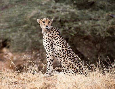 Photograph - Cheetah In Samburu by June Jacobsen