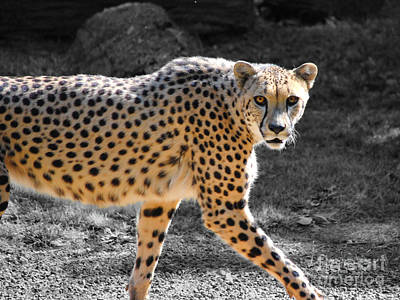 Photograph - Cheetah by Jai Johnson
