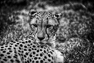 Black Photograph - Cheetah  by Kevin Cable