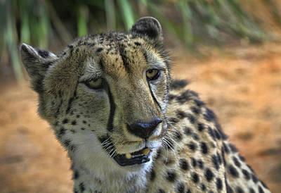 Cheetah Art Print by Kim Andelkovic