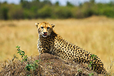 Cheetah Art Print by Kongsak Sumano