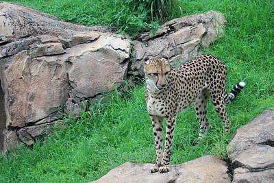 Photograph - Cheetah by Mandy Shupp