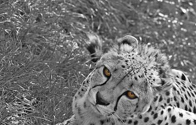 Cheetah Art Print by Martin Newman