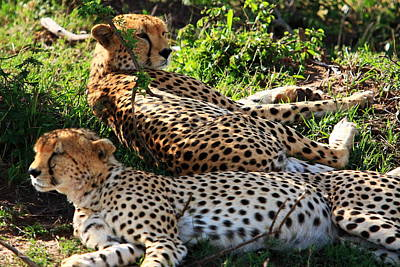 A Pair Of Cheetahs Photograph - Cheetah - Masai Mara - Kenya by Aidan Moran