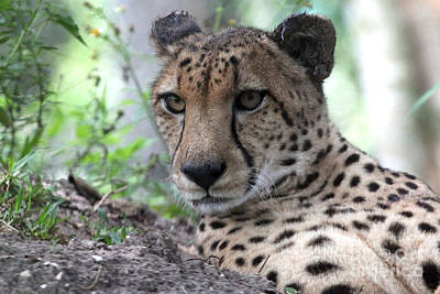 Photograph - Cheetah by Meg Rousher