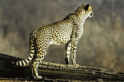 Cheetah Digital Art - Cheetah On The Lookout-one by David Allen Pierson