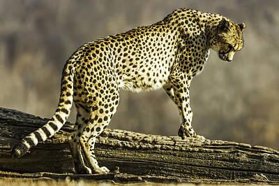 Cheetah Digital Art - Cheetah On The Lookout-two by David Allen Pierson