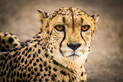 Cheetah Portrait - Color Photograph Art Print by Duane Miller