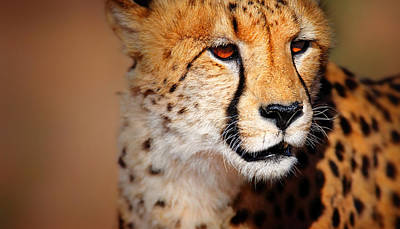 Portraits Royalty-Free and Rights-Managed Images - Cheetah portrait by Johan Swanepoel
