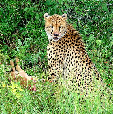 Photograph - Cheetah by Ramona Johnston