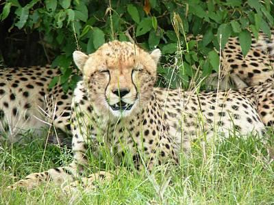 Cheetah Relaxing In The Masai Mara Print by Tony Murtagh