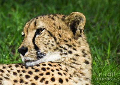Photograph - Cheetah by Richard Lynch