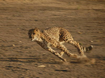 Photograph - Cheetah Run by Tamyra Crossley
