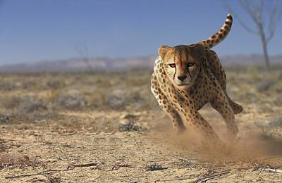 Animal Behaviour Wall Art - Photograph - Cheetah Running by Mark Garlick/science Photo Library