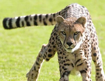 Photograph - cheetah Running Portrait by William Bitman
