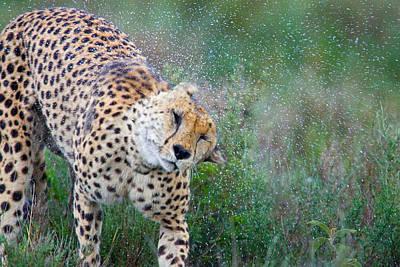 Cheetah Shaking Off Water Art Print