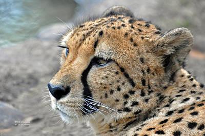 Photograph - Cheetah Side  by Teresa Blanton