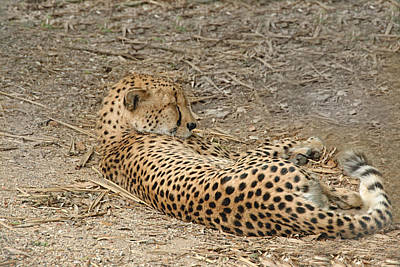 Photograph - Cheetah Sleeping by Charles Beeler