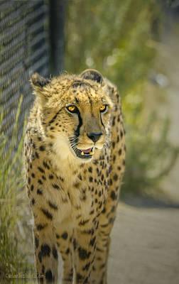 Photograph - Cheetah Stare by LeeAnn McLaneGoetz McLaneGoetzStudioLLCcom