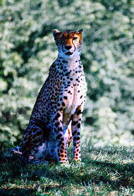 Animals Royalty-Free and Rights-Managed Images - Cheetah by Steve Karol