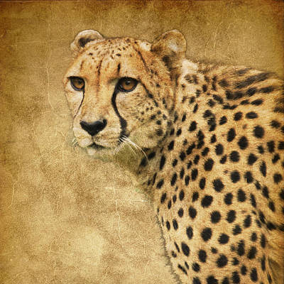 Photograph - Cheetah by Steve McKinzie