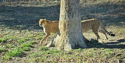 Cheetah Stretch Art Print