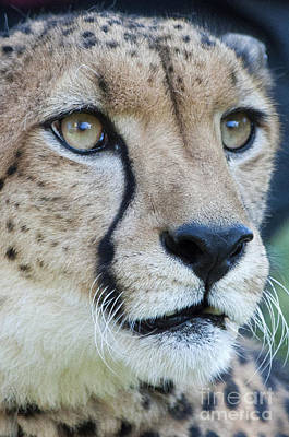 Photograph - Cheetah Up Close by Lula Adams