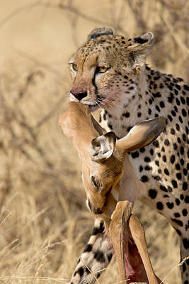 Cheetahs Acinonyx Jubatus And Prey Art Print by Panoramic Images