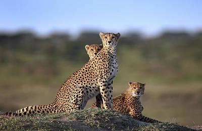 Cheetah Photograph - Cheetahs Family by Sultan Sultan Al
