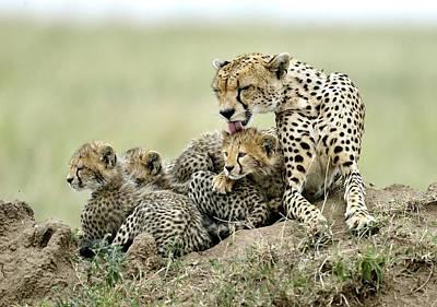 Cheetah Photograph - Cheetahs by Giuseppe D\\\'amico