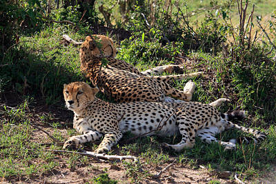 Photograph - Cheetahs Of The Masai Mara by Aidan Moran