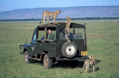 Cheetah Photograph - Cheetahs On Four Wheel Drive Vehicle by Vintage Images
