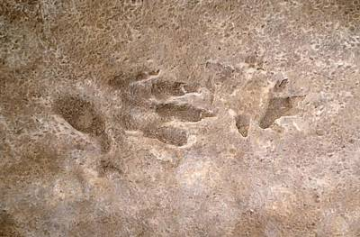 Triassic Photograph - Cheirotherium Reptile, Footprint Fossil by Science Photo Library