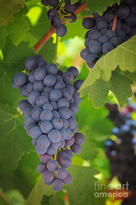 Wine Royalty-Free and Rights-Managed Images - Chelan Blue Grapes by Inge Johnsson