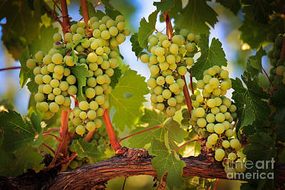 Food And Beverage Royalty-Free and Rights-Managed Images - Chelan Grapevines by Inge Johnsson