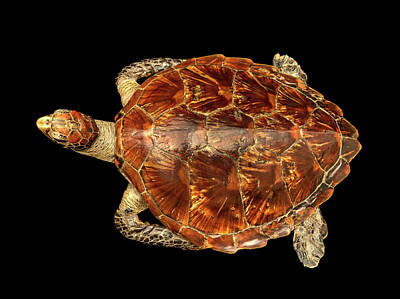 Chordata Photograph - Chelonia Mydas by Natural History Museum, London