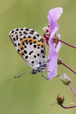 Chequered Photograph - Chequered Blue Butterfly by Heath Mcdonald