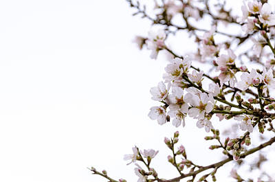 Photograph - Cherries Blooming In The Spring. by Slavica Koceva
