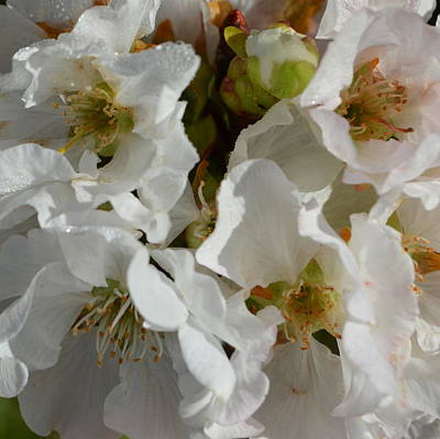 Cherry Blossom 1.1 Art Print by Cheryl Miller
