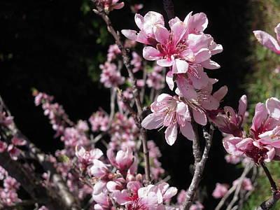 Photograph - Cherry Blossom Abundance by Ankya Klay