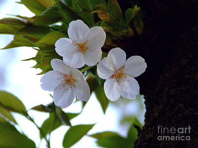 Art Print featuring the photograph Cherry Blossom by Andrea Anderegg