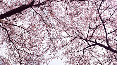 Sakura Photograph - Cherry Blossom Artistic Background by Oleksiy Maksymenko