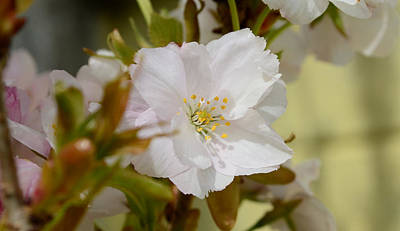 Photograph - Cherry Blossom by Barbara Walsh