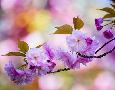 Photograph - Cherry Blossom Branch by Karen Saunders