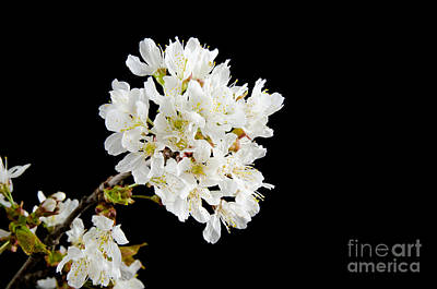 Photograph - Cherry Blossom Branch by Kennerth and Birgitta Kullman