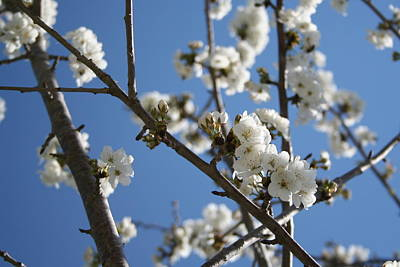 Photograph - Cherry Blossom Branches Against Blue Sky by Tracey Harrington-Simpson