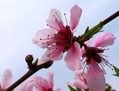 Cherry Blossom Print by Camille Lopez